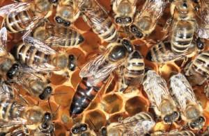 Albine regina